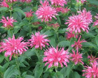 PBBE)~CORAL REEF Bergamot~Seed!!~~~~Deep Rose Color!