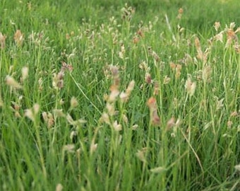 Needle And Thread Grass Seed