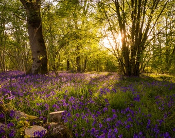 Bluebells of Howe Park Wood Photography Print 12x8 inch Milton Keynes Woodland in Spring