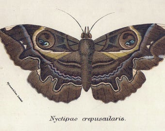 """Erebus Moth 1896 Antique Moth Print Vintage Insect Print Matted 8 X 10"""""""
