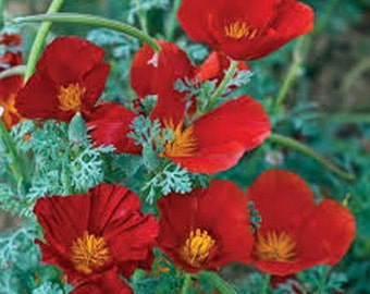 Poppy- Red Chief- California - 500 seeds per pack