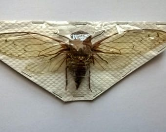 HUGE Cicidae Ssp -  Taxidermy - Unmounted - Ready To Rehydrate - Artwork