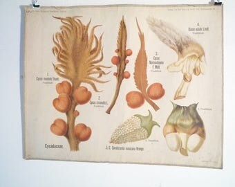 antique German Botanical School Wall Chart Biology, Botany Flower Plant 1910 Albert  PETER Berlin  CYCAS CYCADACEAE Cycad