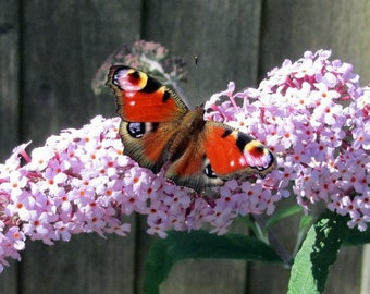 BUZZ™ Soft Pink Butterfly Bush - Compact/Short -Heavy Blooms-Gallon Pot-Buddleia