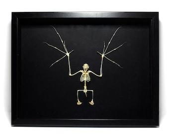 MASSIVE Fruit Bat Skeleton Framed 16'' UK - Teeth, Skull, Human-Like, Bones Taxidermy