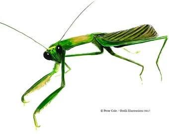 Praying Mantis art print, insect ink illustration, nature home decor, bug drawing