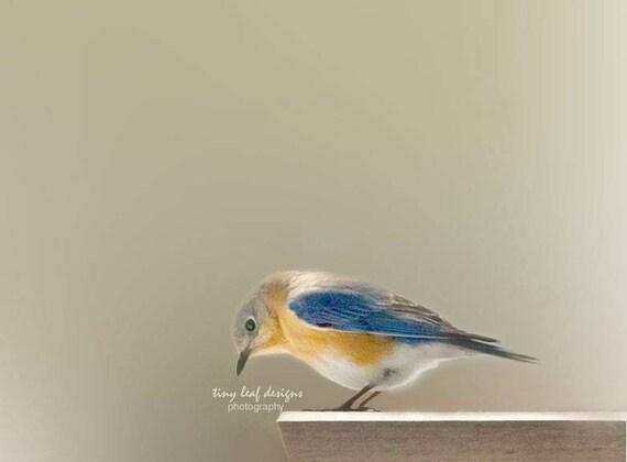 Bluebird Photograph 5 x 7