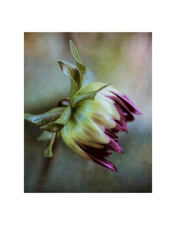Flower photography, flower photo art, floral photo, flower art print, floral art print, botanical photo, dahlia bud photo, purple dahlia bud