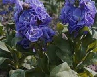 Stock Blue Flower Seeds / Ten Week Matthiola / Annual 50+