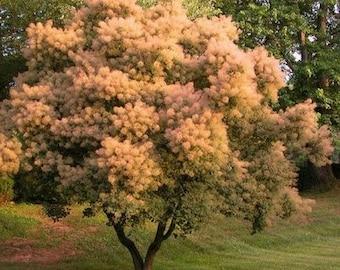 European Smoke Tree Seeds (Cotinus coggygria) 30+Seeds