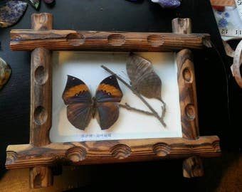 Amazing taxidermy Butterfly!