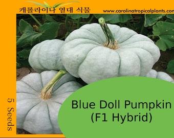 Blue Doll Pumpkin (F1) - 5 Seeds