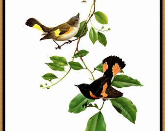 "The American Redstart painted by J F Landsdowne for the book Birds of the Eastern Forest 2. The page is approx. 9 1/2"" wide and 13"" tall."