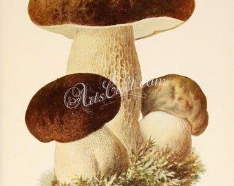 mushrooms-00304 - boletus bulbosus, boletus edulis, penny bun, cep, porcino or porcini vintage printable picture image from ancient book jpg