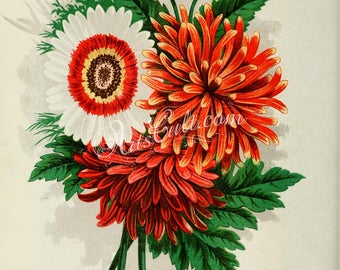 flowers-29937 - Chrysanthemum red white tricolor Daisy bouquet flavor vintage old ancient antique book page illustration paper graphics jpeg