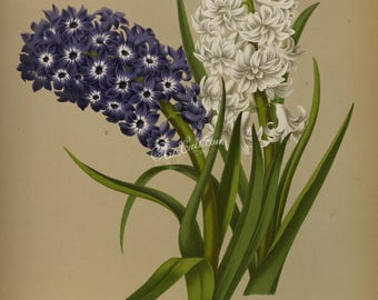 flowers-16702 - Hyacinth hyacinthus white purple bouquet vintage digital large size illustration picture image public domain old bokk page