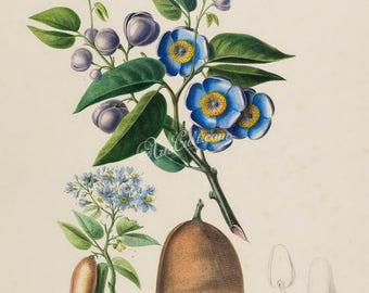 flowers-18069 - L'Acajou a Meubles maogni - courbari, Hymenaea courbaril, West Indian locust, vintage large size printable illustration jpeg