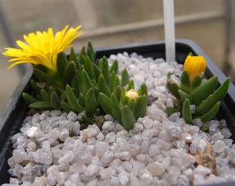 Delosperma congestum 'GOLD NUGGET' plant