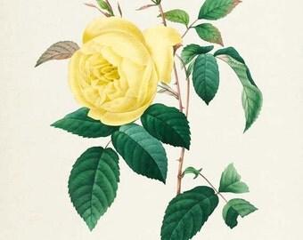 Yellow Rose Flower Print - Rose Art Print - Botanical Print Flower Art - Garden - Redoute Art - Rosa Indica