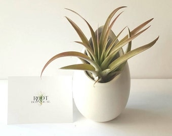 "Air Plant in White Ceramic Hanging Planter, Large Air Plant in Modern ""Egg"""