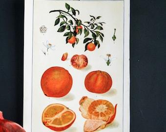 Vintage print, Orange print, fruit print, botanical chart, art illustrations, wall decor, citrus fruit print, kitchen art decor