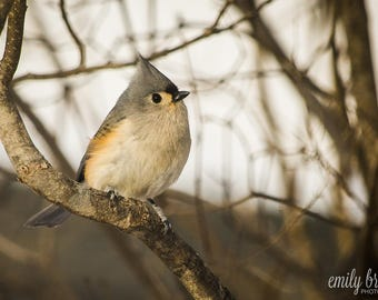 Tufted Titmouse photography print, wall art, bird photography, fine art print, 8x10 print, 5x7 print