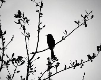 Black and White Mocking Bird Fine Art Digital Download