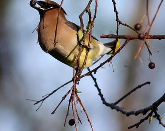 Cedar Waxwing Berries Bird Print