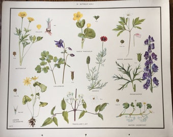 VINTAGE 1930's School Poster BUTTERCUPS Flora Educational Print Nature Study Wildflowers Flowers