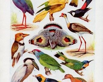 Vintage Antique 1930s Bird bookplate original lithograph art print illustration finch parakeet bittern bower bird 3144