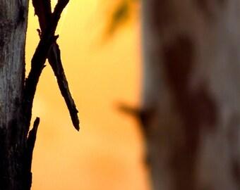 Peeling Eucalyptus Bark by Catherine Roché, California Landscape Photography, Golden Sunset Photography, Nature Photography, Fine Art