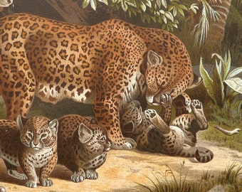 1890 Antique print of a LEOPARD with her CUBS. Leopards. Big Cats. Natural History. 127 years old lithograph