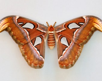 ONE Real Attacus Atlas Moth Female Snake Mimic Wings Closed Papered Unmounted Wholesale