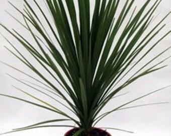 TS) BLUE DRACAENA Palm~Seeds!!!~~~~~~~Tropical or Houseplant!!!