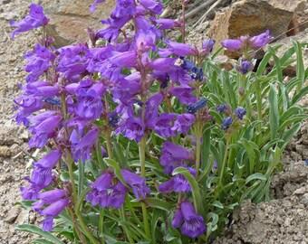 WFP)~BLUE PENSTEMON~Seed!!!~~~~~~~~Stunning Blue Wildflower!!