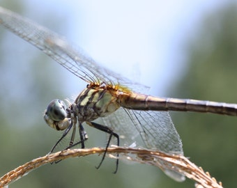 Glossy Photo of a Dragonfly