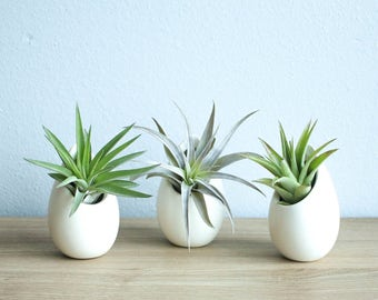 Hanging Air Plant Container - 3 Mini Ivory Ceramic Vases with Air Plants -  Fast FREE