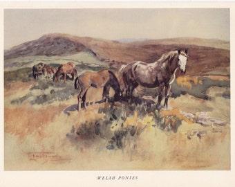 Welsh Pony vintage print native British breed working pony horse equine illustration