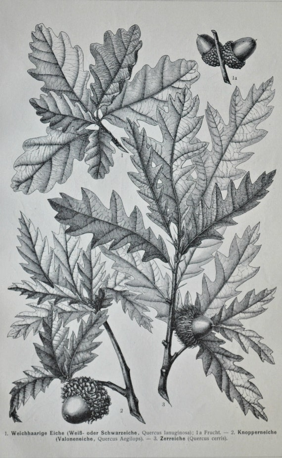 Oak tree engraving. Botany print. Old book plate, 1904. Antique  illustration. 112 years lithograph. 9'6 x 6'2 inches.