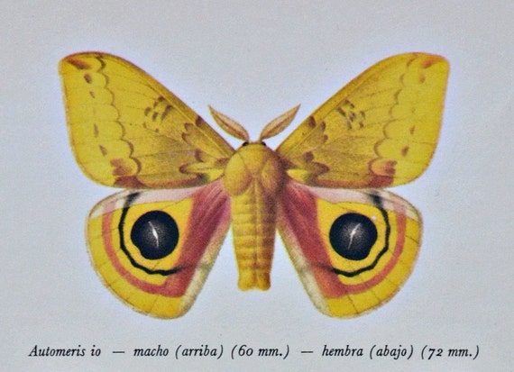 Io moth. Automeris io. Butterfly. Vintage color book plate. Old print. 1966 illustration. 8 x 10'1 inches. Butterfly print.