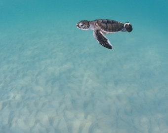 Green Sea Turtle Hatchling In The Ocean Fine Art Photograph Print