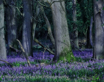 Ashridge Forest Carpeted with Bluebells