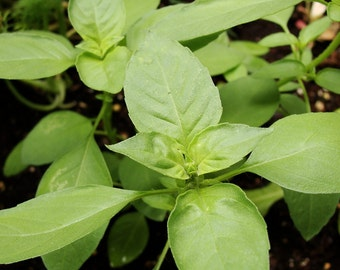200+ Lime Basil Herb Seeds- Heirloom Variety