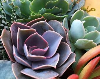 Echeveria Perle von Nurnberg/Succulent plant/succulents/indoor plant/Succulent garden/succulent arrangement/live plants/cactus