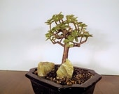 Dwarf Jade plant bonsai in a black pot. This bonsai is easy to care for and train. Produces smaller leaves than it's bigger cousins.