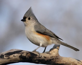 tufted, titmouse, photo, print, bird photography, wildlife photography, shop, best, songbird, home decor, wall art, nature, free shipping