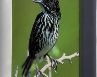Canvas 24x36; Dusky Seaside Sparrow (Ammodramus Maritimus Nigrescens)