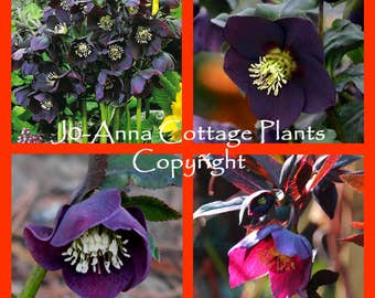 Helleborus Queen of the Night Black Christmas Rose Lenten Rose - 1 LITRE POT