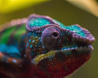 Prints - Chameleon Closeup