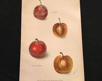 Varieties of Plum Antique Print, US Dept. of Agriculture's Promising New Fruits of 1906, Original Color Lithograph